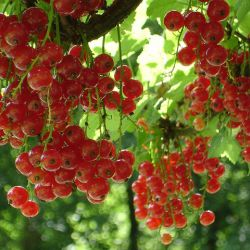 "Смородина красная ""Голландская Красная""(штамб) (Ribes rubrum ""Punainen Hollantilainen"" Финляндия)"