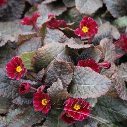 Примула обыкновенная Innisfree (Primula vulgaris Innisfree)