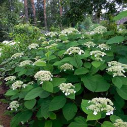 Гортензия древовидная White Dome (Hydrangea arborescens White Dome)