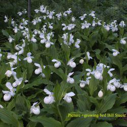Cypripedium reginae alba (p9)