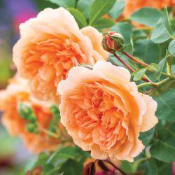 Английские розы DAVID AUSTIN (2019г.)