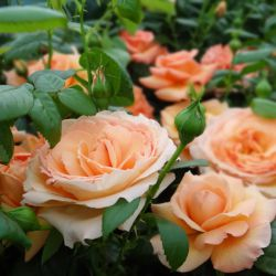 Розы HARKNESS (весна 2017)
