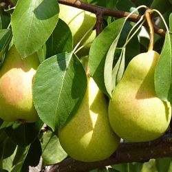 Плодовыые деревья из российских питомников 2018