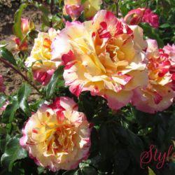 Розы DELBARD (весна 2019)