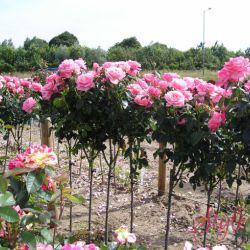 Штамбовые розы на 2019 год.