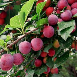 Плодовые деревья и кустарники из Финляндии 2018