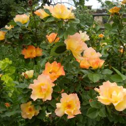 Канадские розы из питомника Blomqvist Plantskola 2018