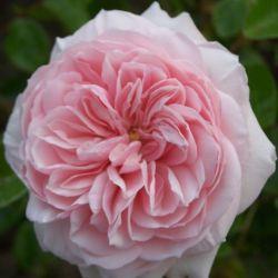 LENS Roses (Бельгия, весна 2017)