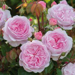 Английские розы DAVID AUSTIN ROSES 2017