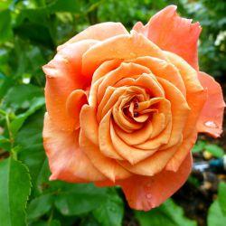Розы FRYER'S & Dickson (весна 2017)