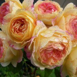 Розы DOMINIQUE MASSAD (весна 2017)