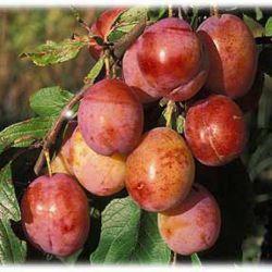 Плодовые деревья из финского питомника Blomqvist Plantskola Ab 2018 год