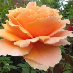 Розы из голландских питомников 2019 года
