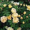 Английская роза Golden Celebration