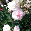 Rosemoor (English Rose)