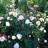 Ангийская роза A Shropshire Lad
