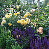 Английская роза Graham Thomas и шалфей дубравный