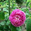 "Centifolia ""The Bishop"" (L'Eveque -британская версия)"