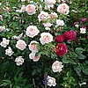 Английские розы Wildeve и Falstaf