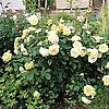 Английская роза Teasing Georgia