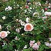 Английская роза William Morris