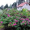Цветение старинных роз в июле.