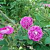 Centifolia Muscosa 'William Lobb'
