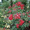 Старинная полиантовая роза, предположительно Orange Triumph