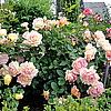 Rose de Cisterciens (шраб, Дельбар)