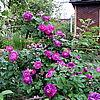 "Centifolia Muscosa 'William Lobb' и Gallica "" Belle de Crecy"""