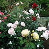 Английская роза Heritage и др.